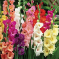 25 lily bulbs or 100 gladioli bulbs £10
